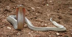 Kobra Filipina